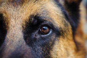 german shepherd dog photos