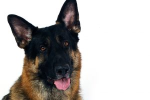 german shepherd dog wallpaper download