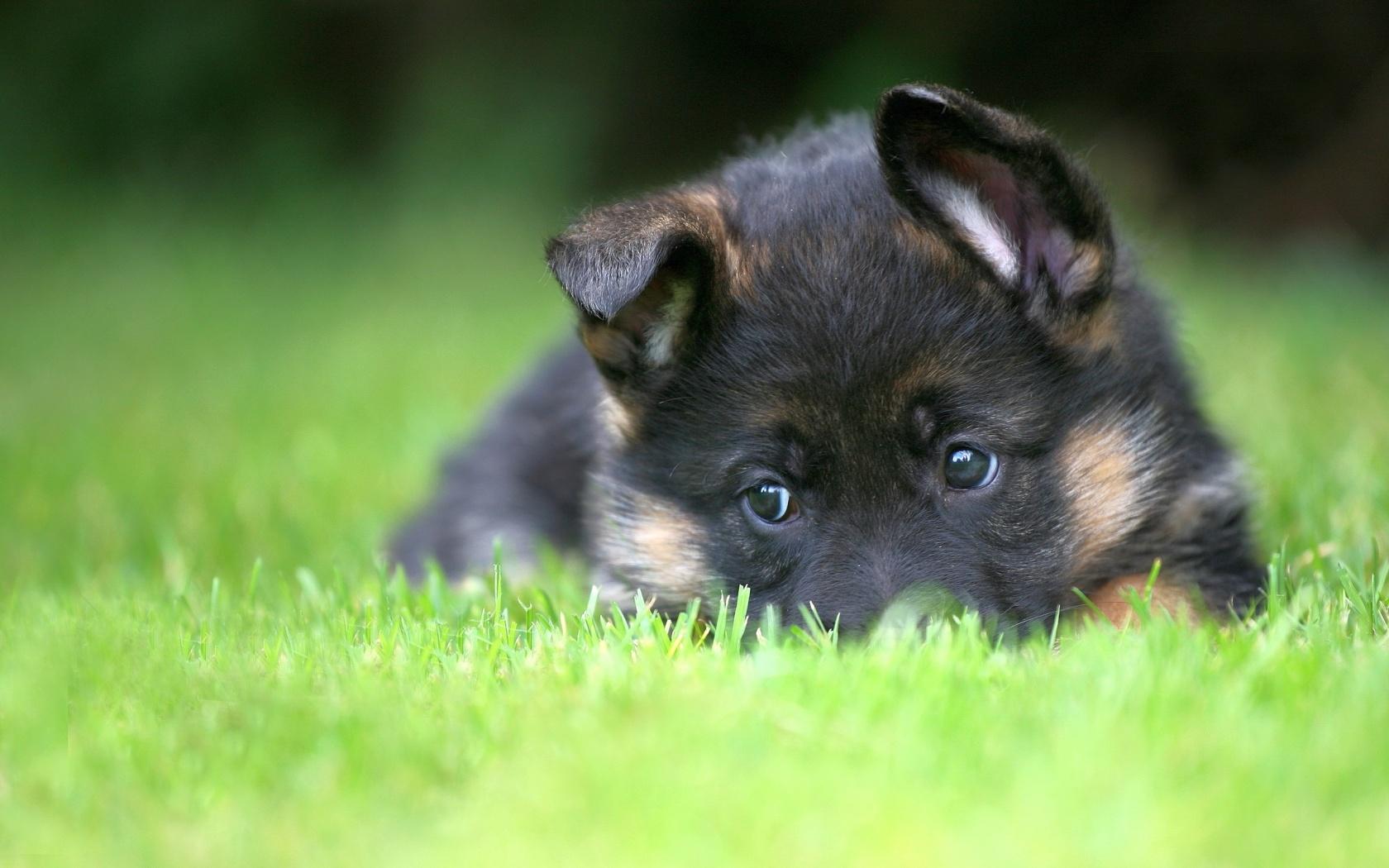 german shepherd puppies wallpaper