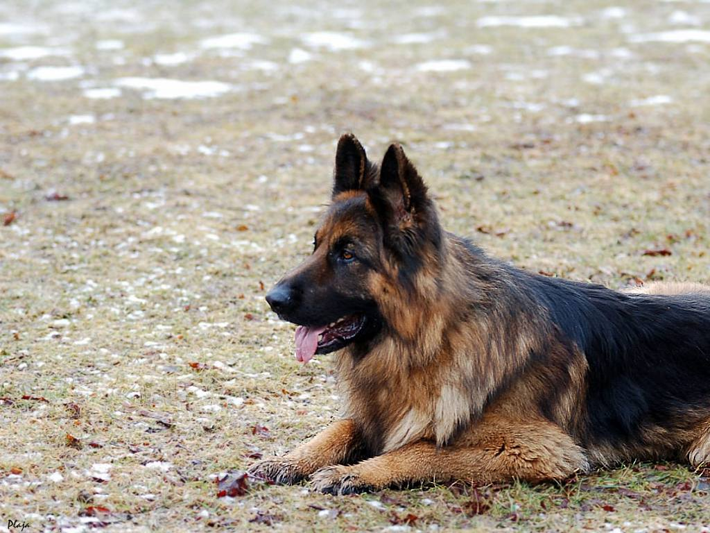 german shepherds hd