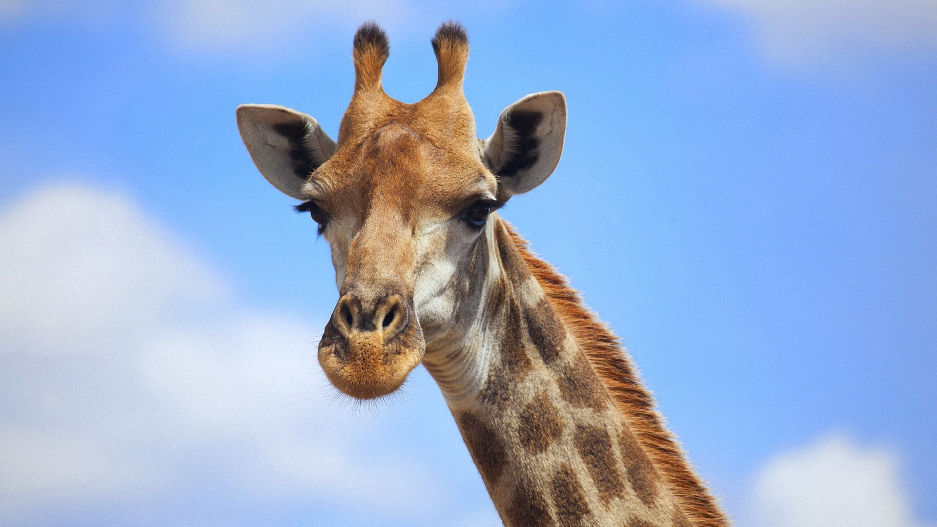 giraff wallpaper
