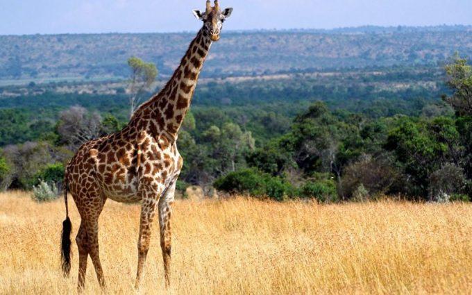 giraffe image background