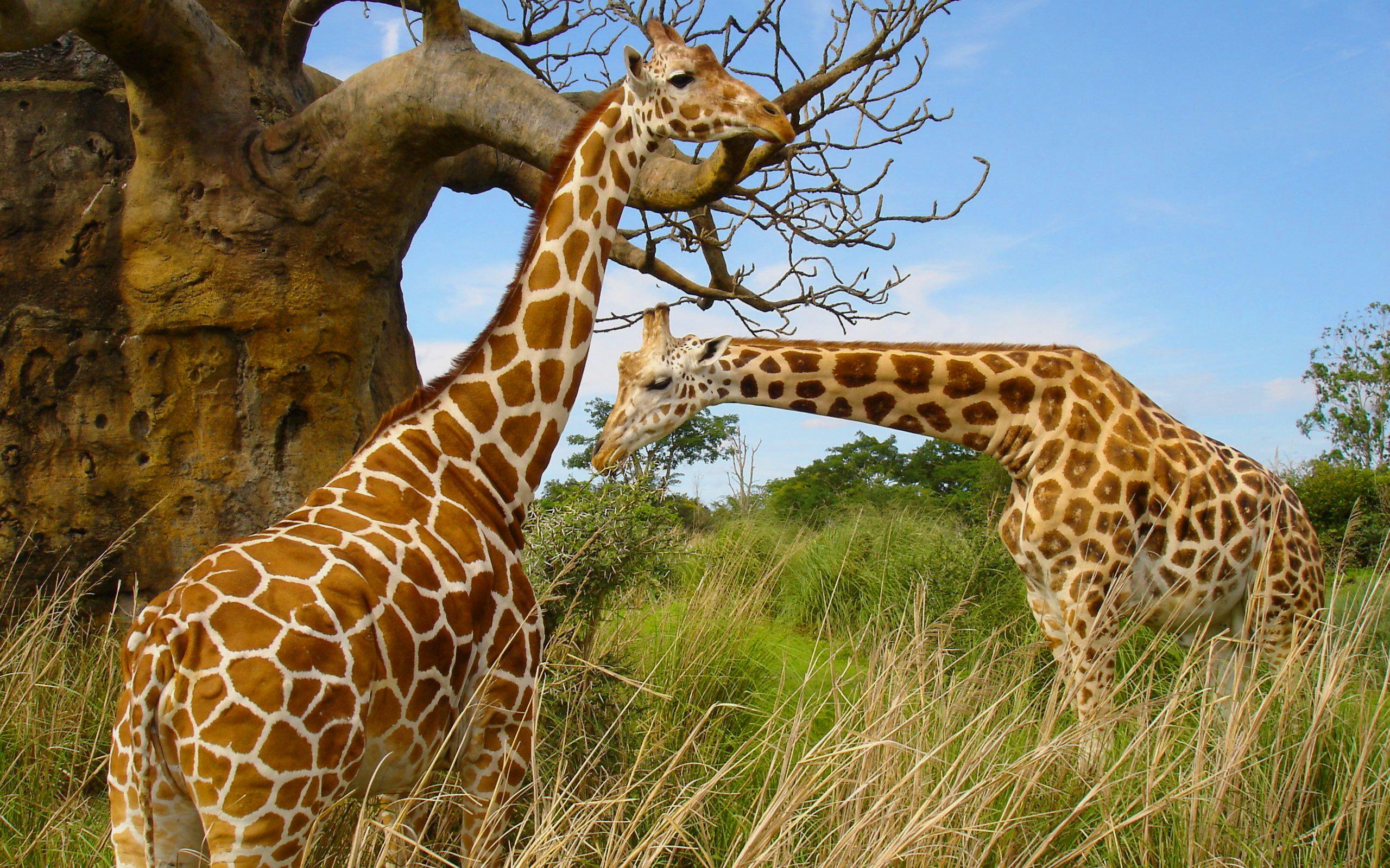 giraffe image download