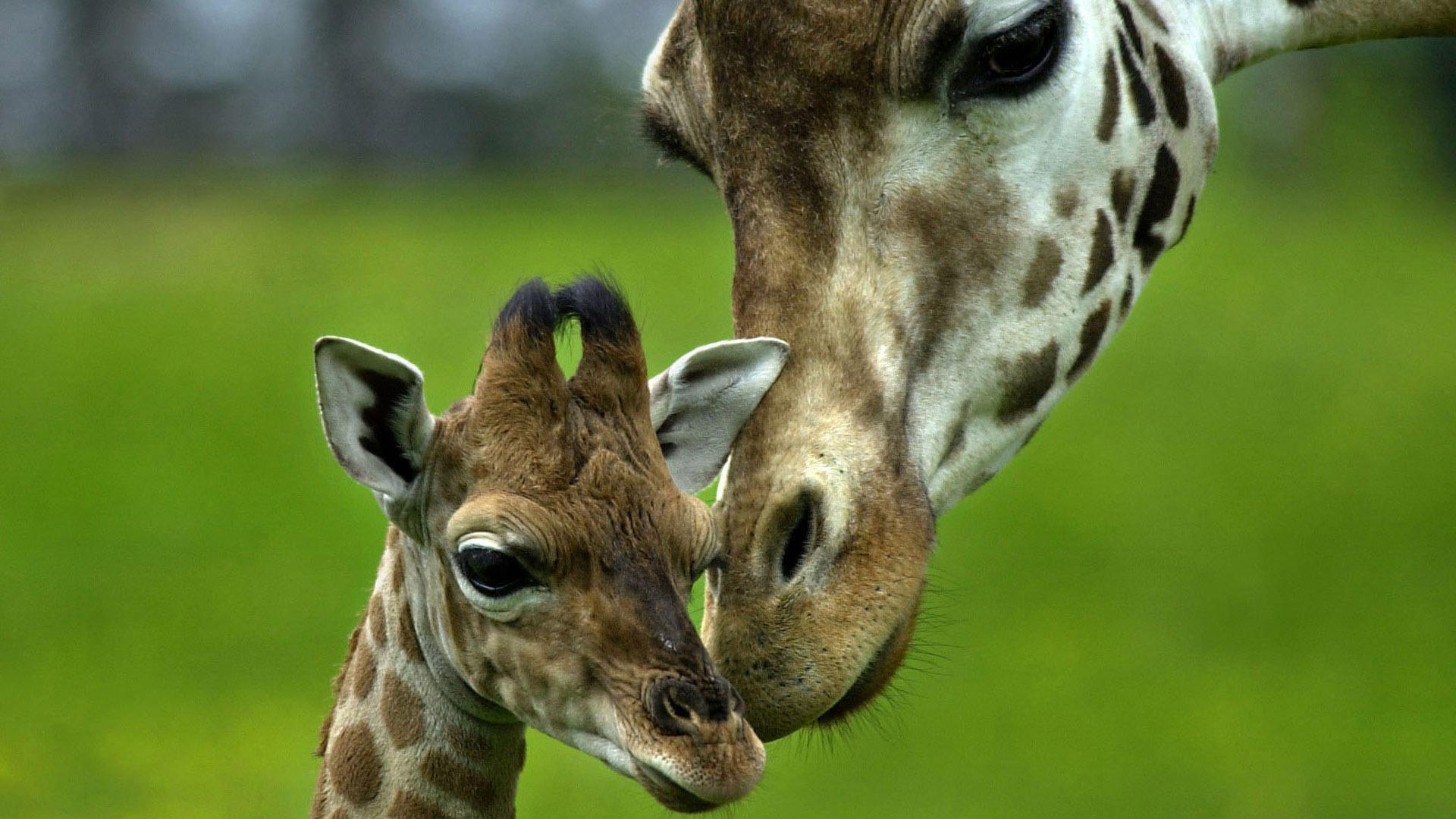 giraffe image free