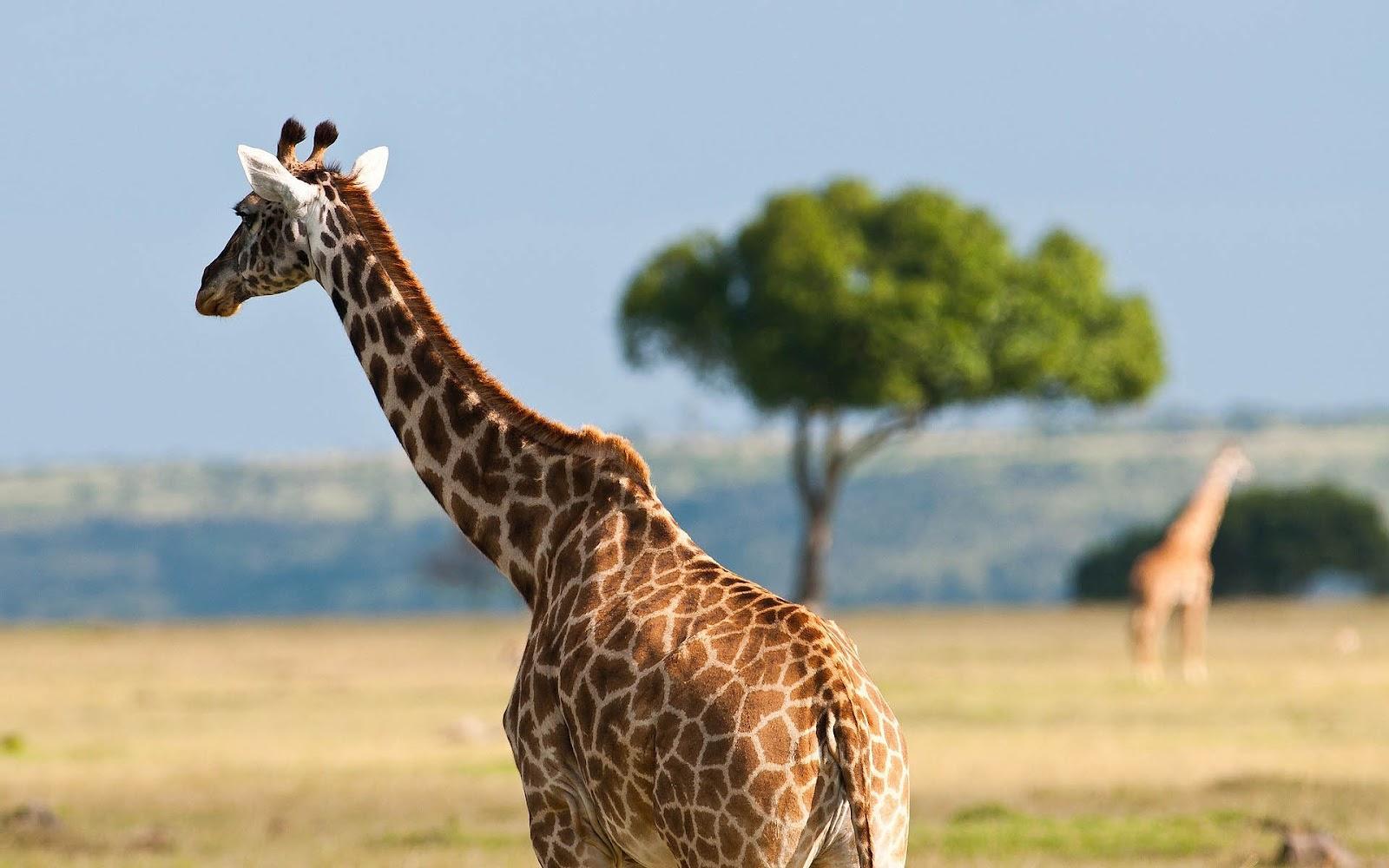 giraffe images 1080p