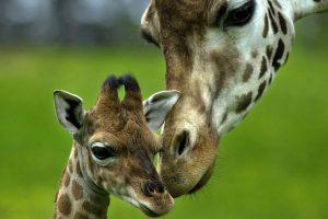 giraffe images A2