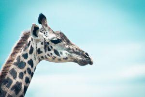 giraffe images A3