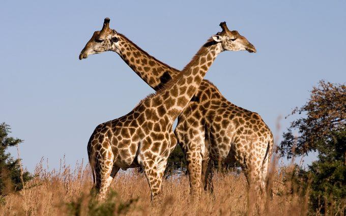 giraffe images animal