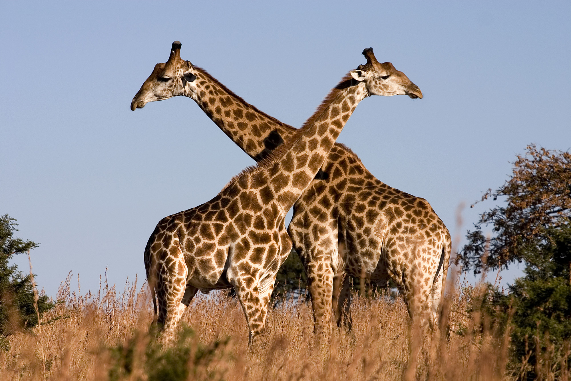 giraffe images animal