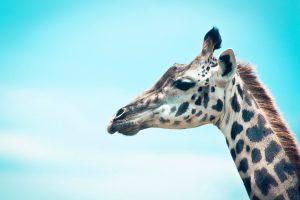 giraffe images cute