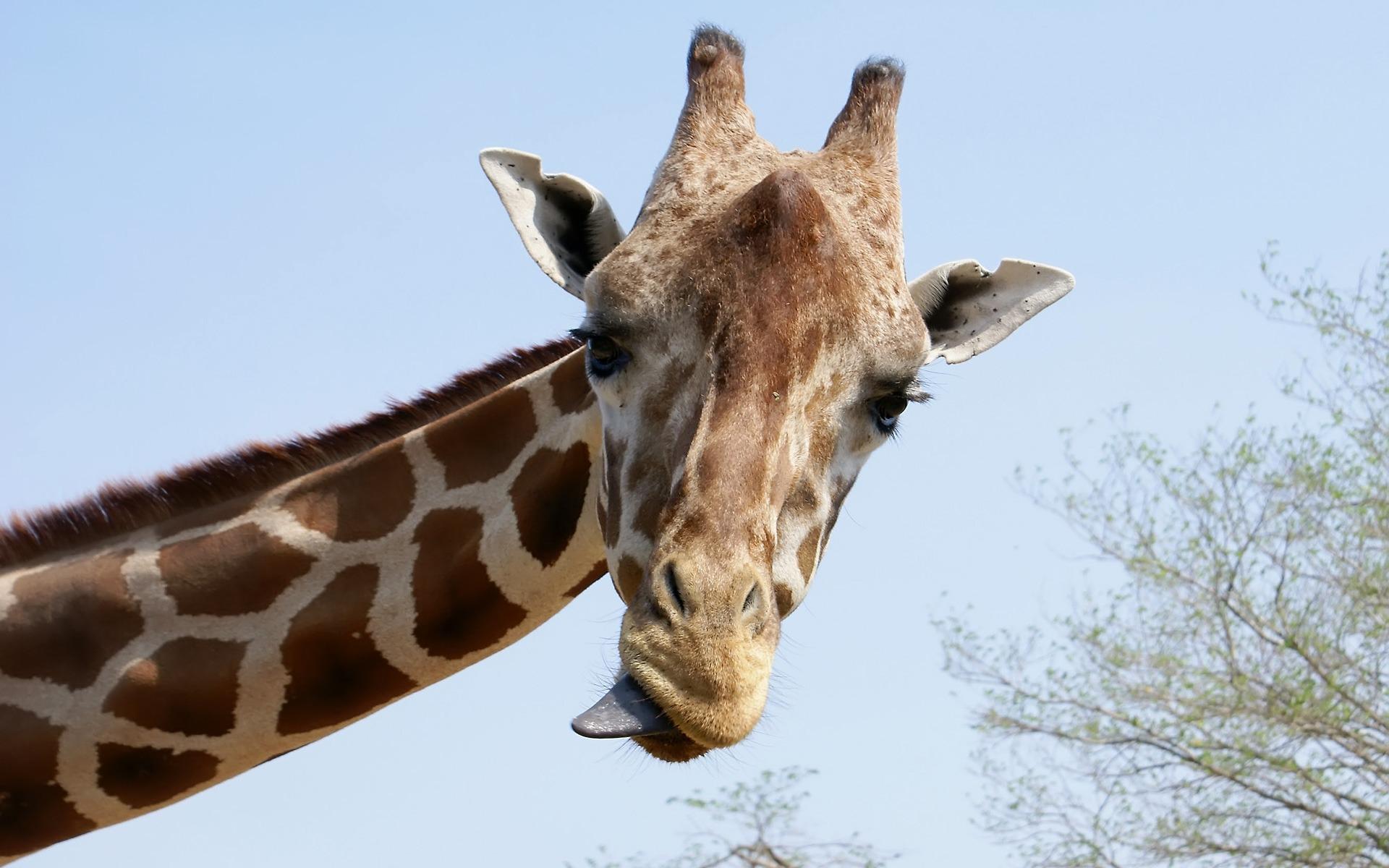 giraffe images free