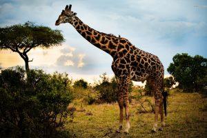 giraffe images nature