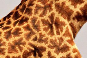 Masai Giraffe Pattern - Masai Mara, Kenya