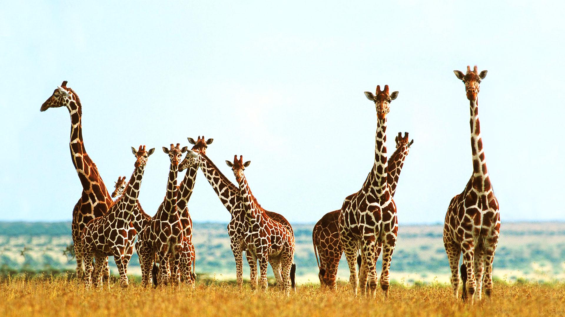 giraffe wallpapers free