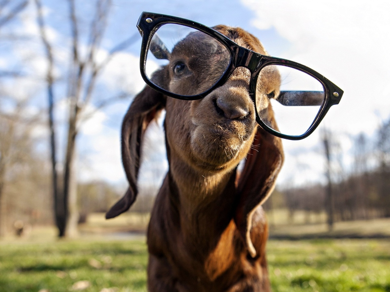 goat funny