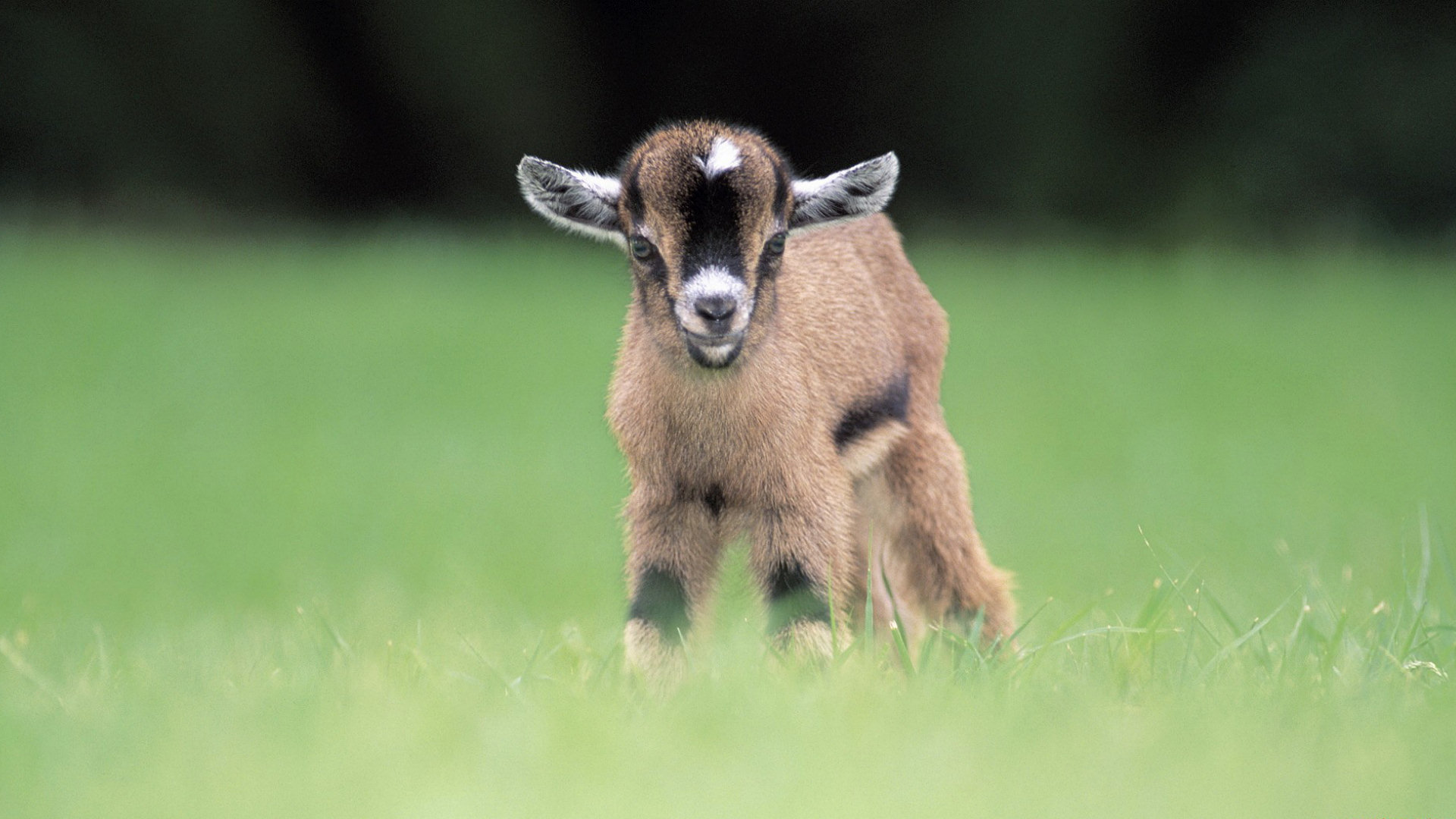 goat images