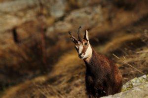 goat photos