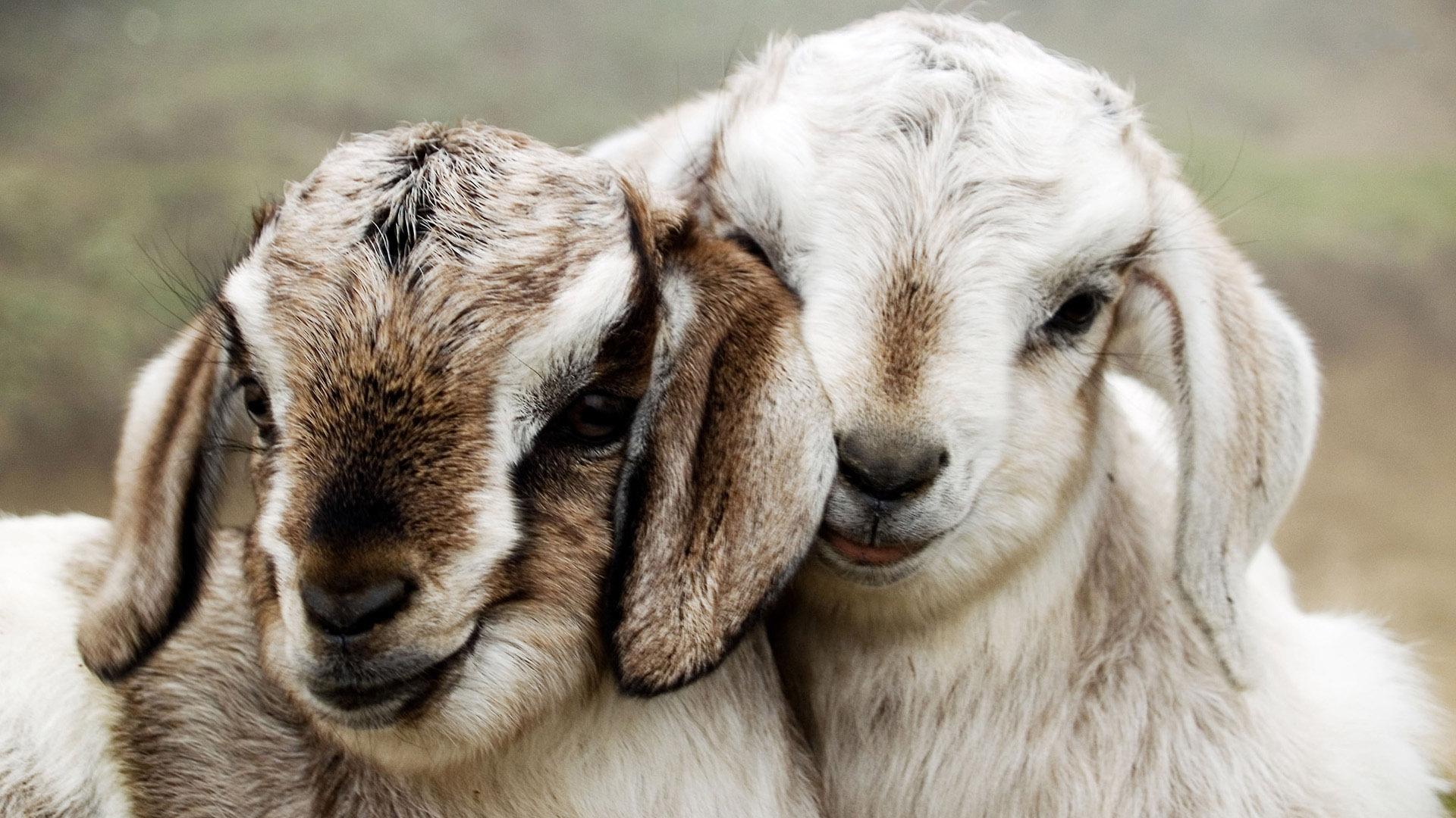 goat wallpaper hd