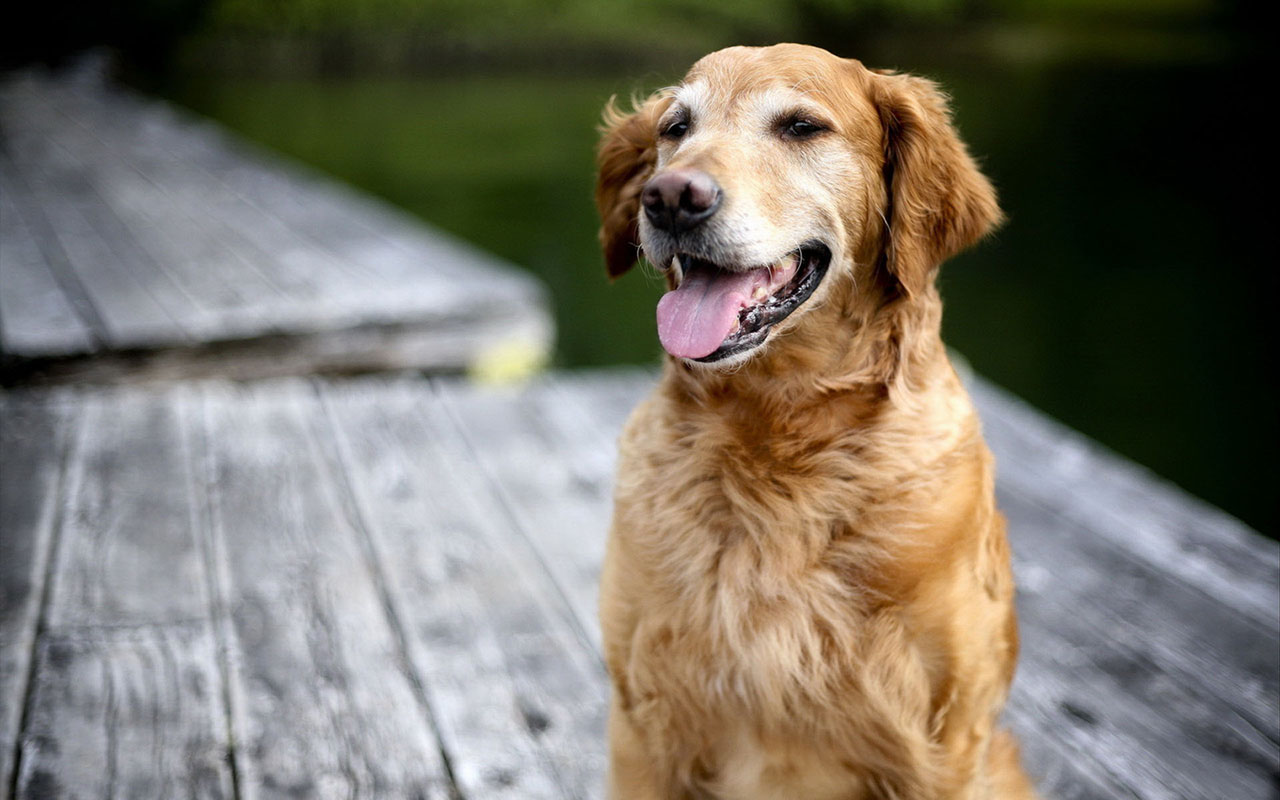 golden retriever 1080p