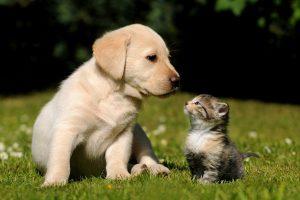 golden retriever cat