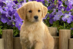 golden retriever cute