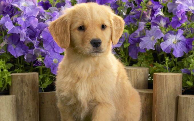 golden retriever cute