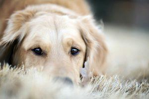 golden retriever dog breeds