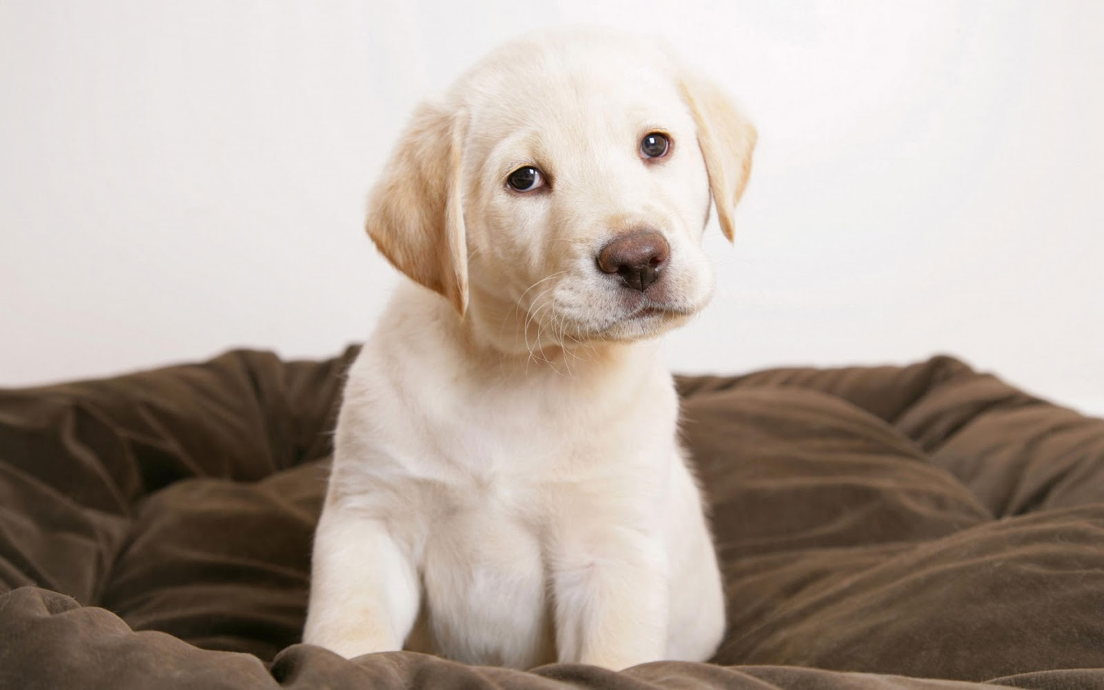 golden retriever puppy wallpapers - photo #16