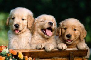 golden retriever puppies hd
