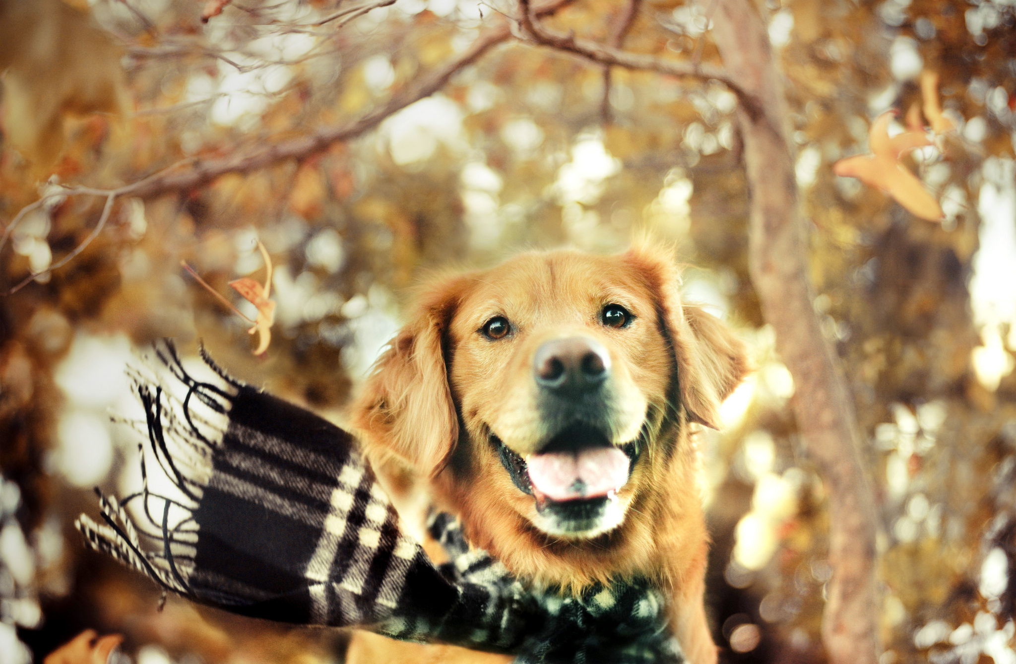 golden retriever wallpaper A5