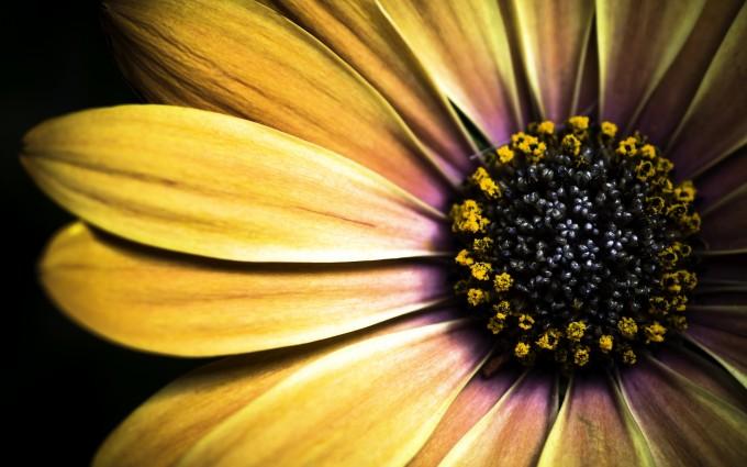 golden shasta daisy hd
