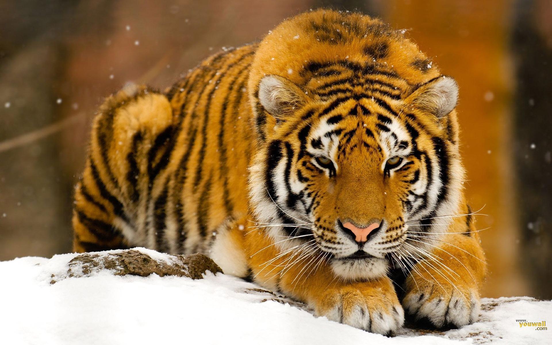 Tiger Art Wallpaper Jpg 960 800: Golden Tiger Wallpaper - HD Desktop Wallpapers