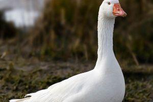 goose photos