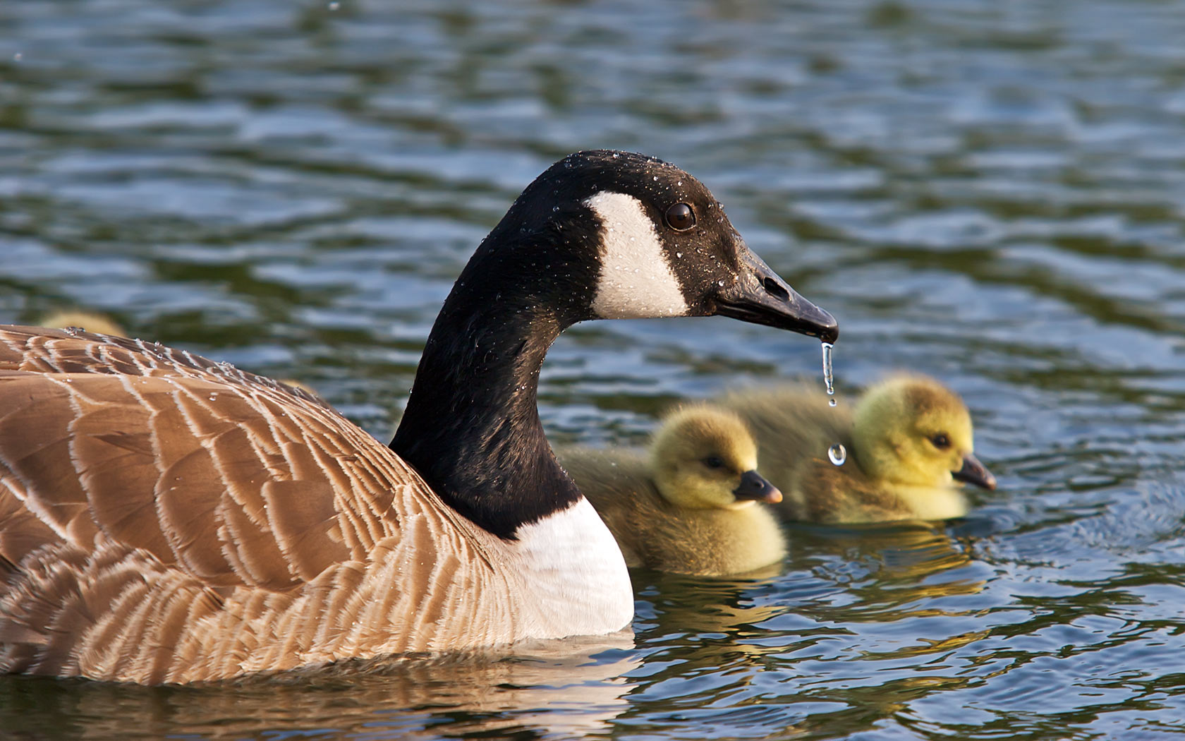 goose pictures A1