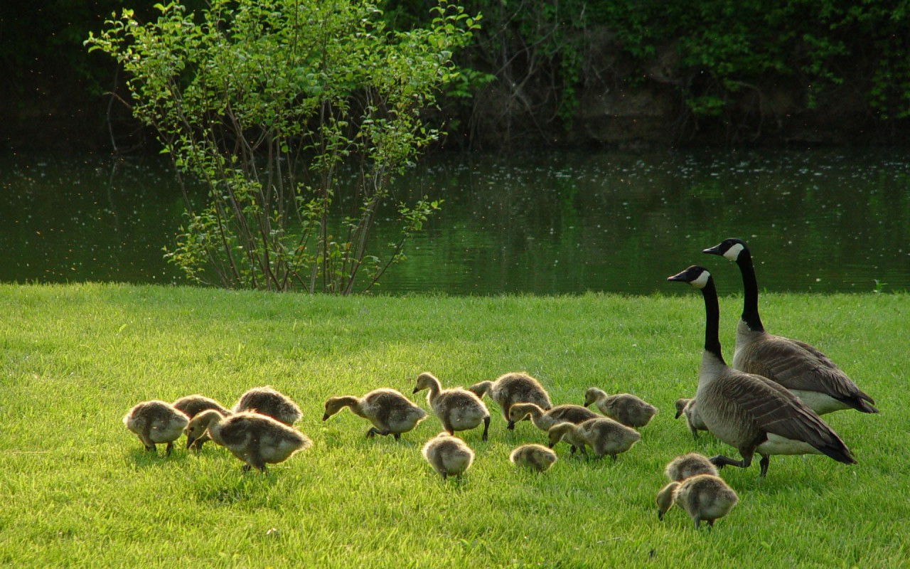 goose pictures A2
