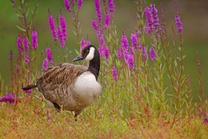 goose wallpapers A1