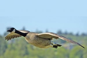 goose wallpapers HD