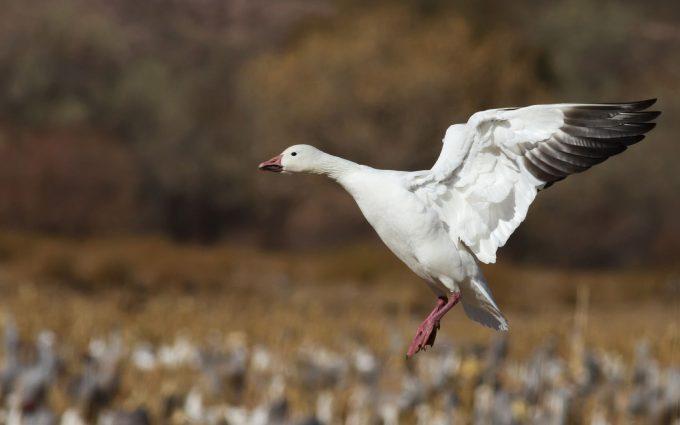 goose wildlife - HD Desktop Wallpapers   4k HD