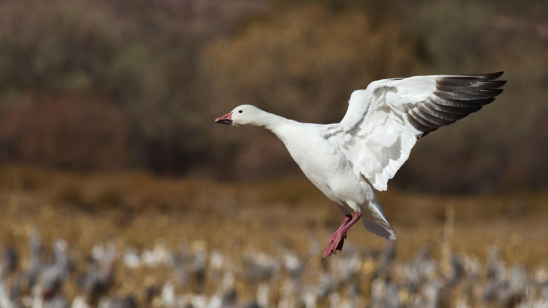 goose wildlife