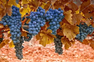 grapes download