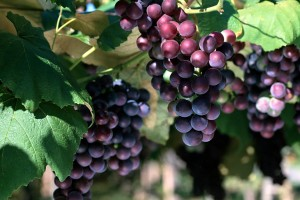 grapes wallpaper hd