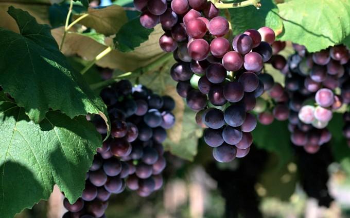 grapes wallpaper hd