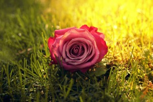 grass wallpaper rose