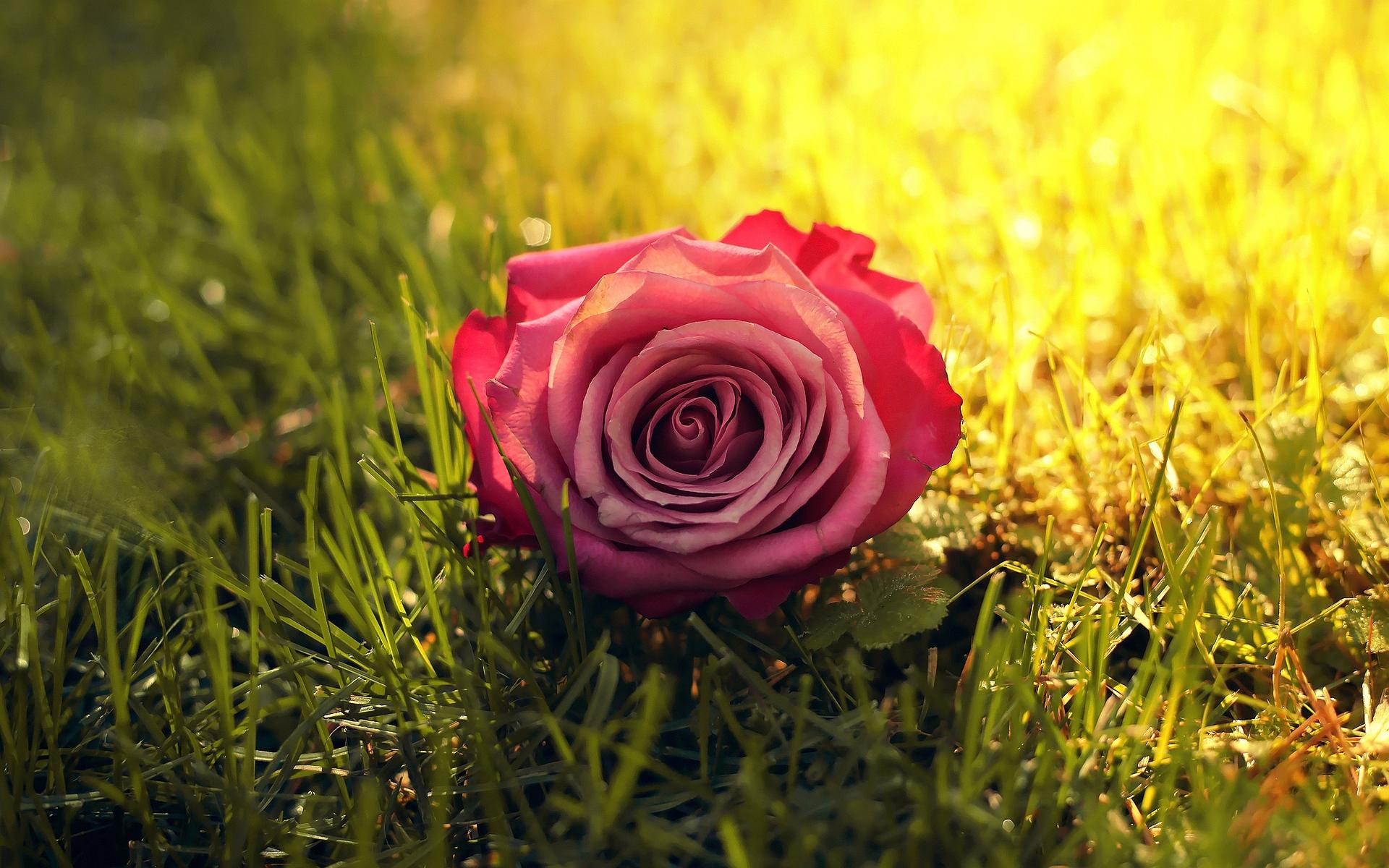grass wallpaper rose