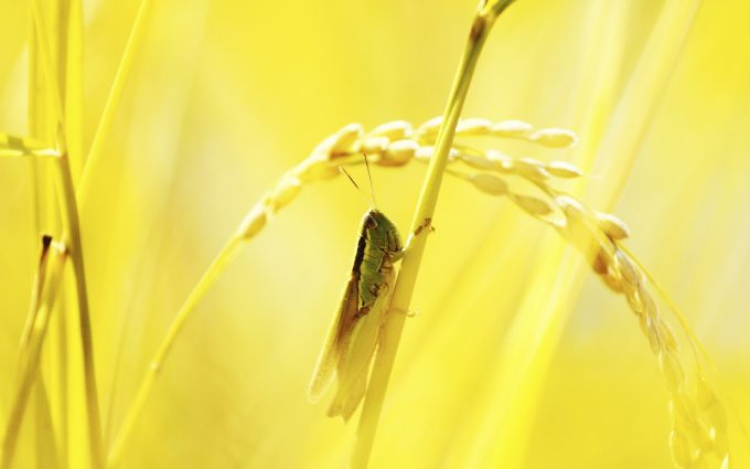 grasshopper insect nature