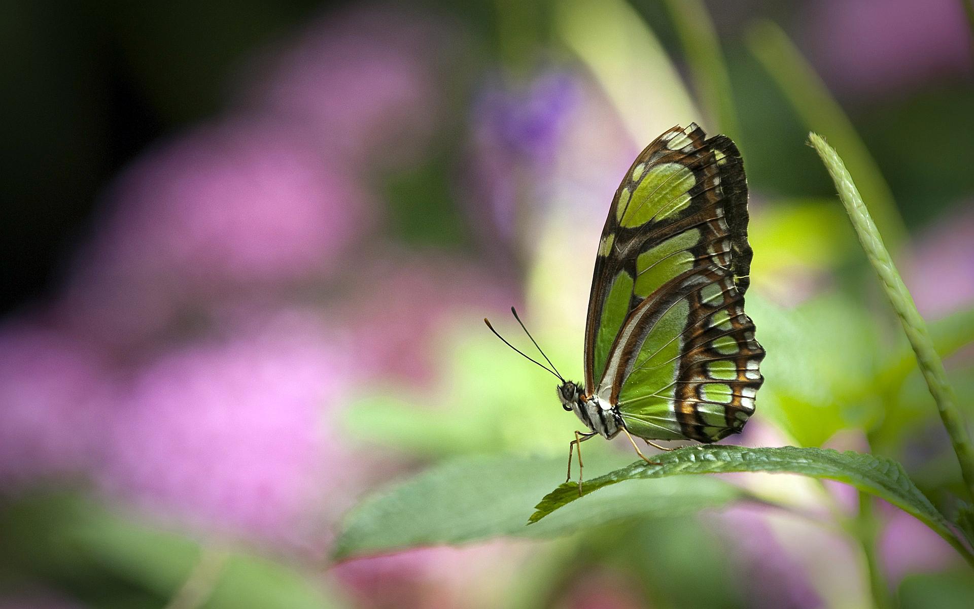 green butterfly wallpaper