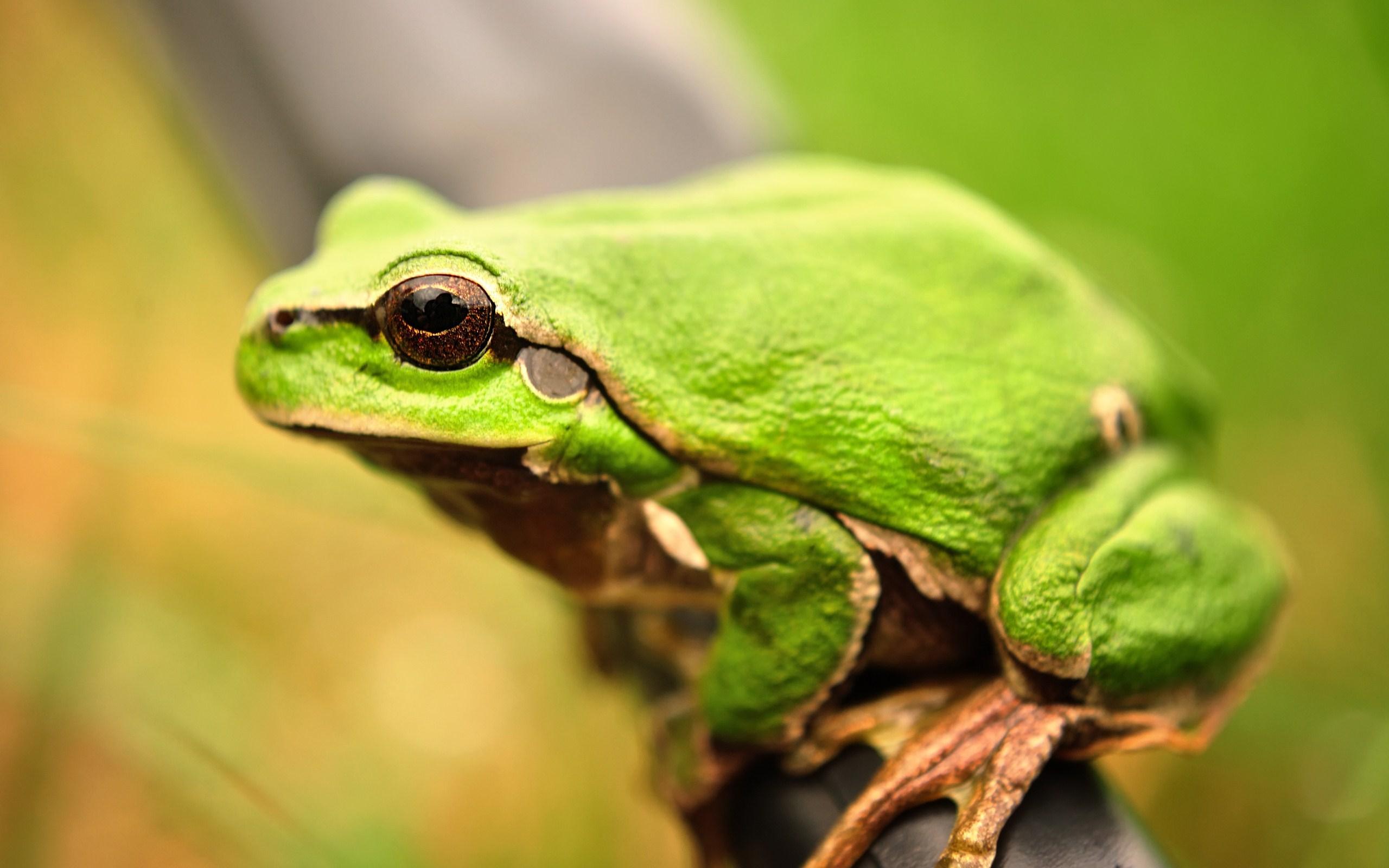 green frog hd