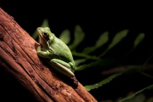 green frog image