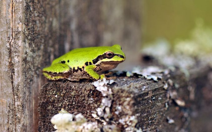 green frog nature