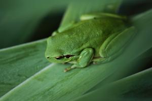 green frog photo